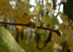 Water droplet on a twig