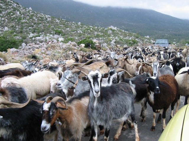 Herd of goats in Greece
